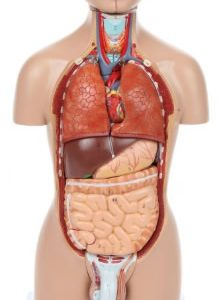 Anatomical Model-A-104264, 16-Part Mini Torso
