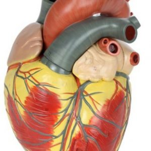 Anatomical Model-3-Part Heart (3x Life-Size)